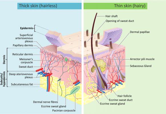 Skin layers - Source - Wikipedia